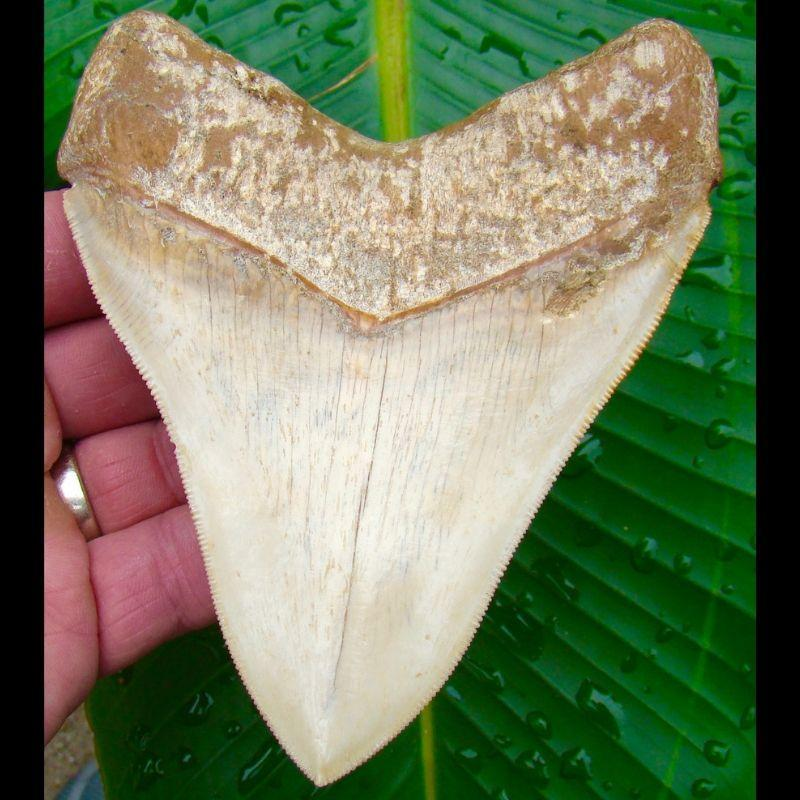 Megalodon Tooth 5 in.   - Chilean Megalodon Shark Tooth