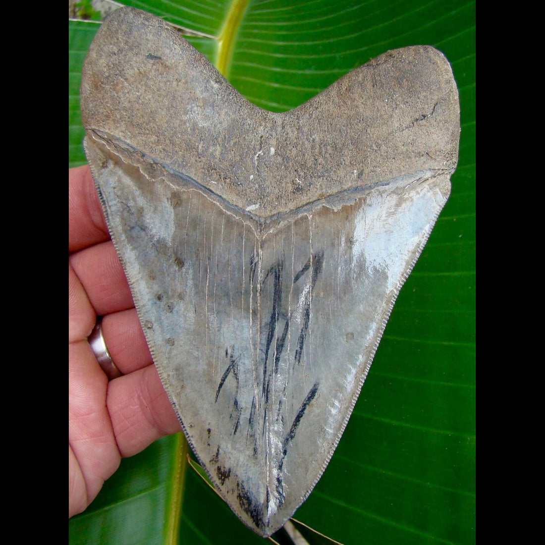 Megalodon Tooth 5 in. -  Georgia Megalodon Shark Tooth