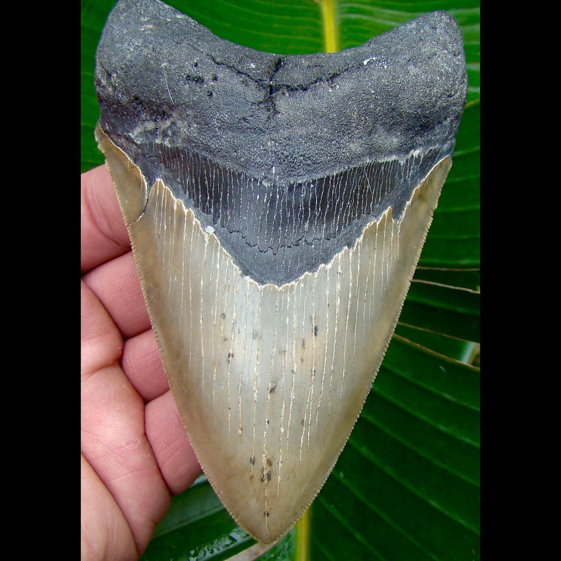 Megalodon Tooth 5 in. * SERRATED *  North Carolina Megalodon Shark Tooth