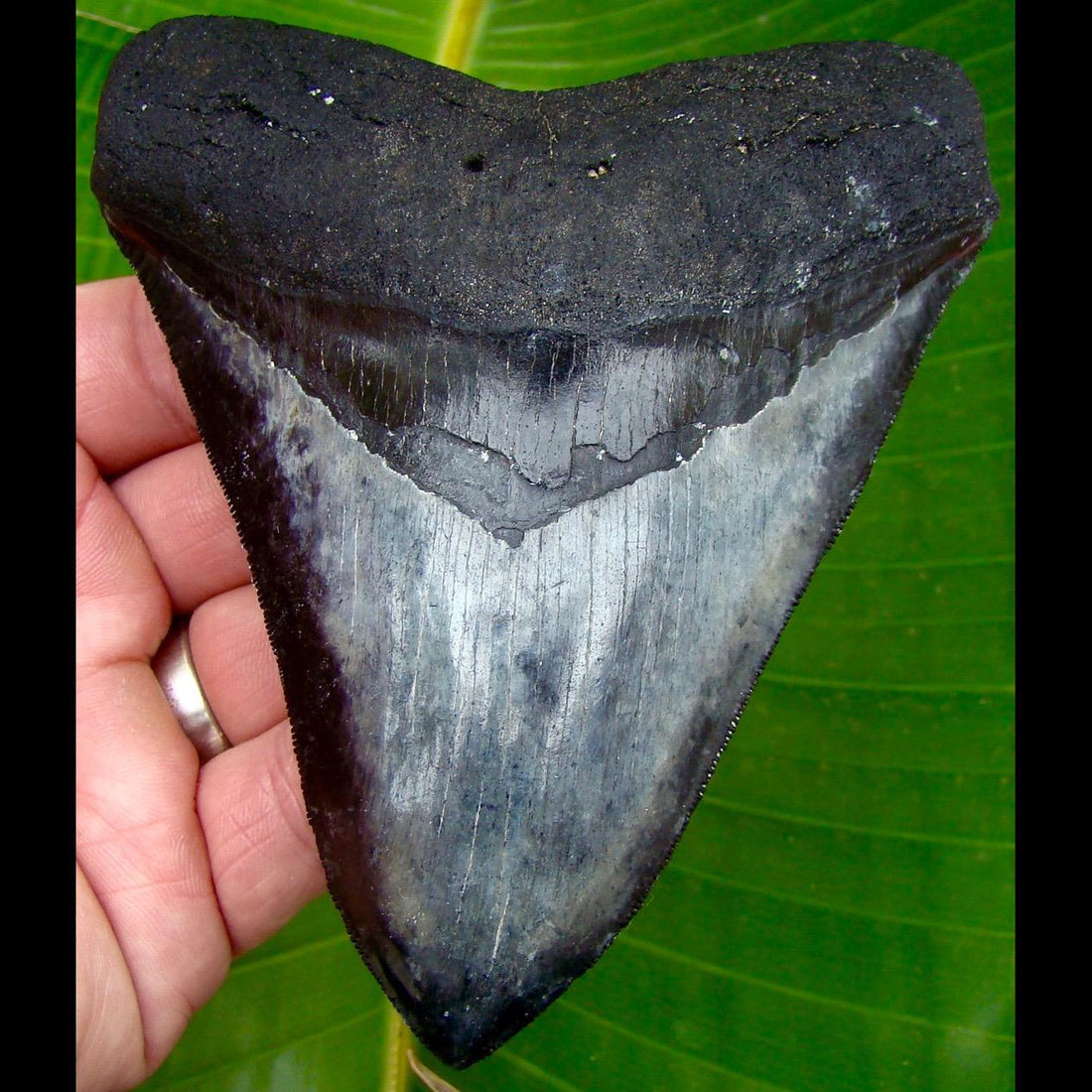 Megalodon Tooth 5 in.  Venice Beach, Florida Megalodon Shark Tooth