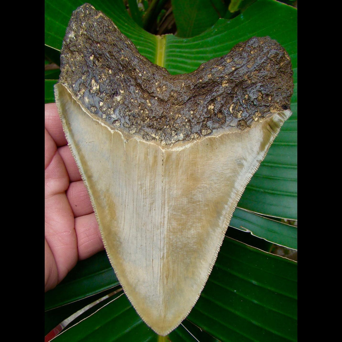 Megalodon Tooth 6 & 5/16 in. * SERRATED * North Carolina Megalodon Shark Tooth
