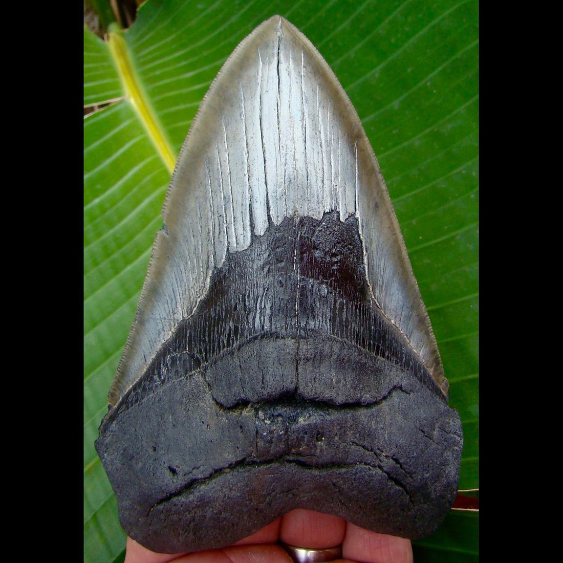 Megalodon Tooth 6 in.  South Carolina Megalodon Shark Tooth