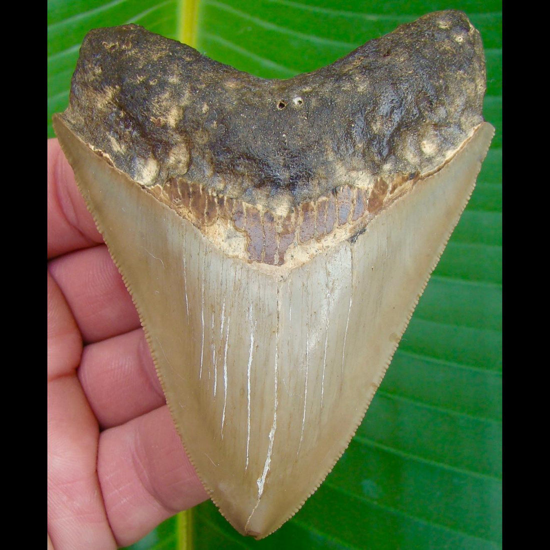 Megalodon Tooth ALMOST 4 in. * BARGAIN PRICED *   SERRATED North Carolina Megalodon Shark Tooth