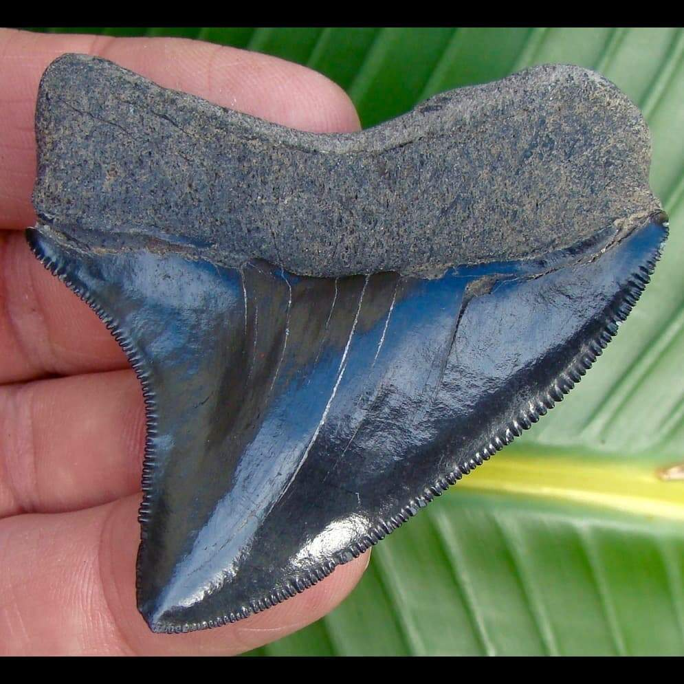 Megalodon Tooth - Bargain 2 & 11/16 in. * BARGAIN PRICED *  Megalodon Shark Tooth - Bargain