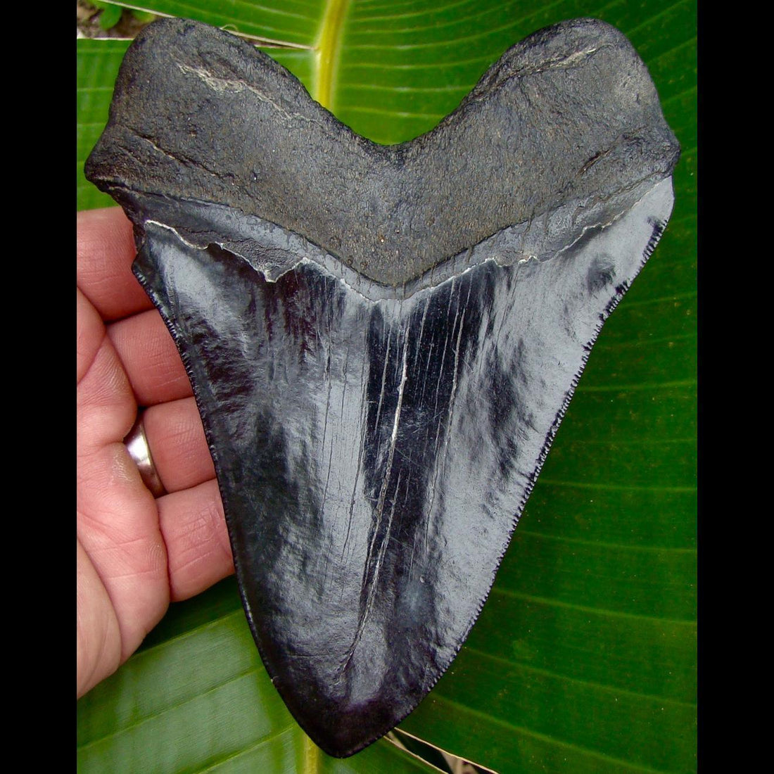Megalodon Tooth Copy of 5 & 5/8 in.  South Carolina Megalodon Shark Tooth