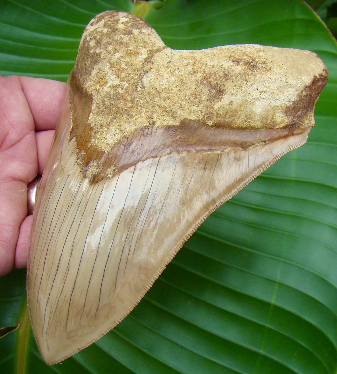 Megalodon Tooth Copy of 5.71 in.  MUSEUM GRADE - Indonesian Megalodon Shark Tooth