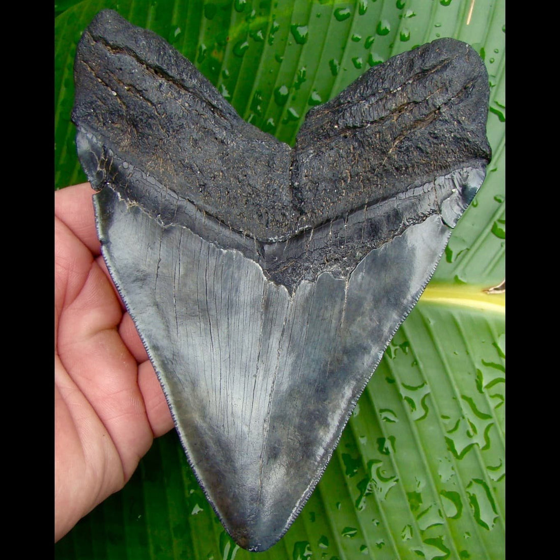Megalodon Tooth HUGE - 5 & 7/8 in. South Carolina Megalodon Shark Tooth