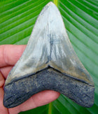 Megalodon Tooth Megalodon Shark Tooth - 4 in. - Lower Jaw (SMEG109)