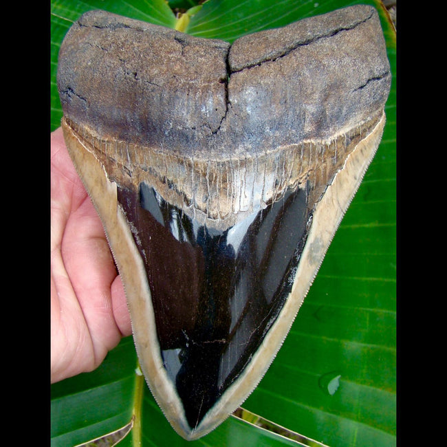Megalodon Tooth MONSTER 6 & 3/16 in. South Carolina Megalodon Shark Tooth