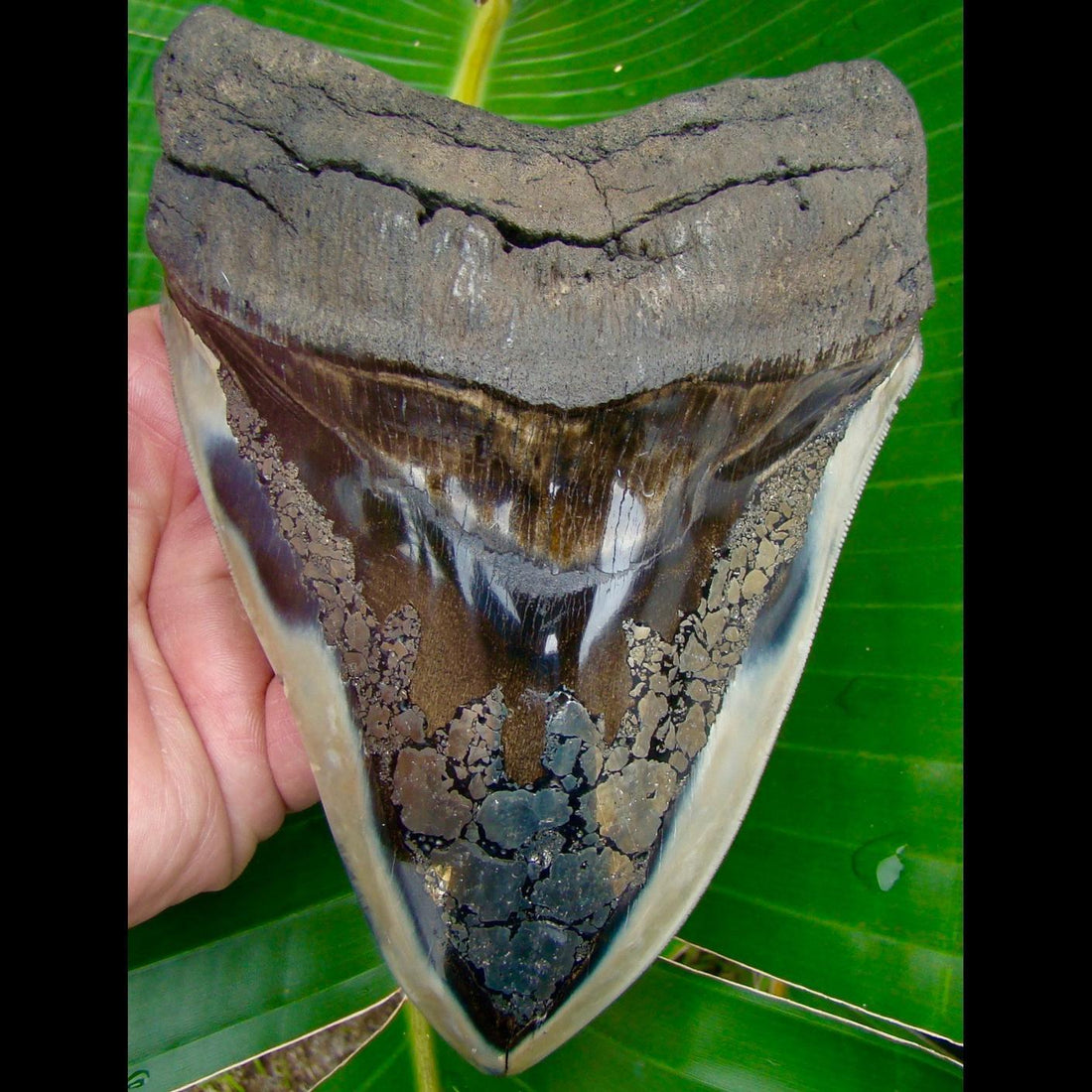 Megalodon Tooth MONSTER 6 & 3/8 in. * GOLD PYRITE * South Carolina Megalodon Shark Tooth