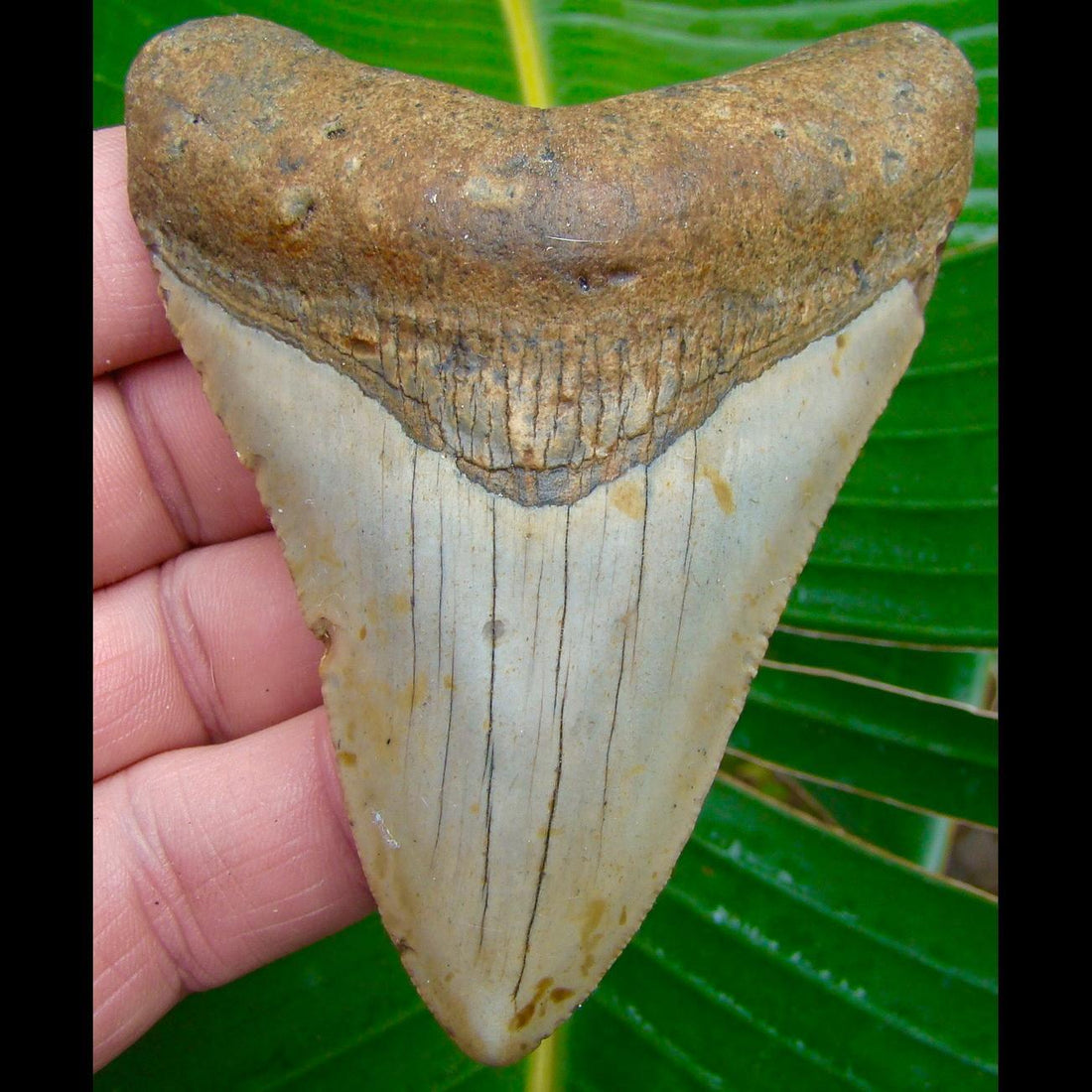 Megalodon Tooth OVER 3 & 15/16 in. * BARGAIN PRICED *  North Carolina Megalodon Shark Tooth