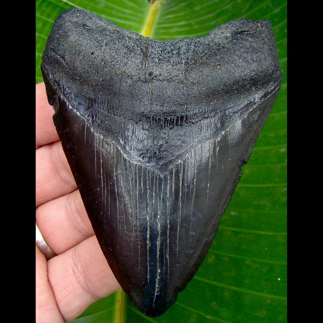 Megalodon Tooth OVER 3 & 15/16 in. South Carolina Megalodon Shark Tooth
