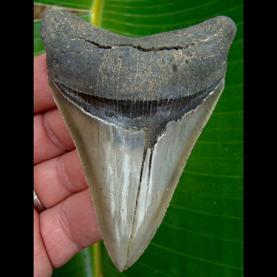 Megalodon Tooth OVER 3 & 3/4 in. - * SERRATED *  Georgia Megalodon Shark Tooth