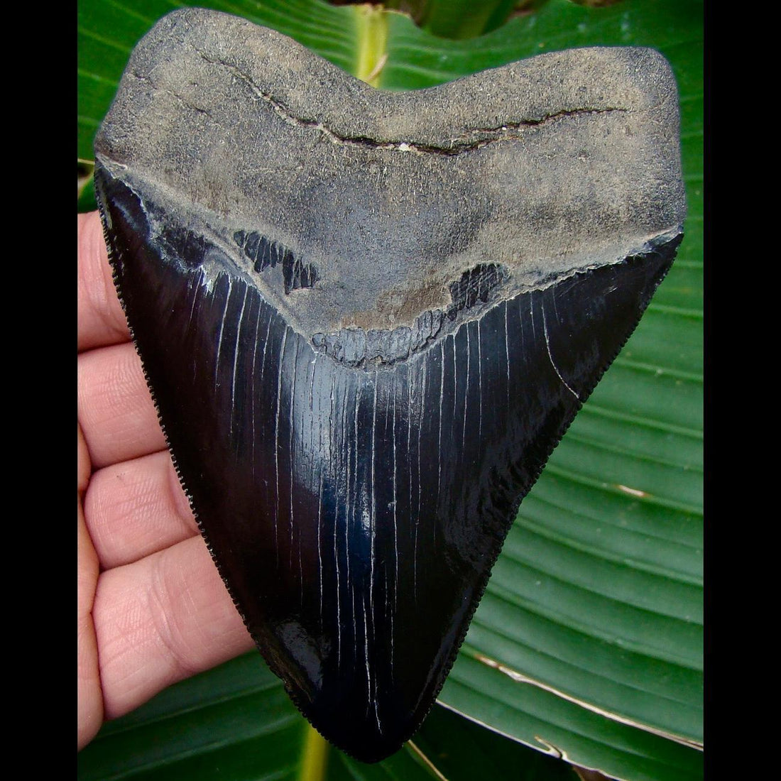 Megalodon Tooth OVER 4 & 1/2 in. - * JET BLACK * Georgia Megalodon Shark Tooth