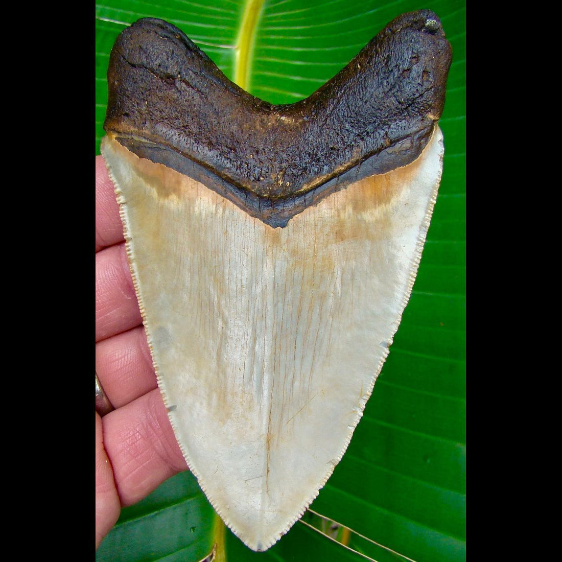 Megalodon Tooth OVER 4 & 1/2 in.  * UPPER ANTERIOR *  North Carolina Megalodon Shark Tooth