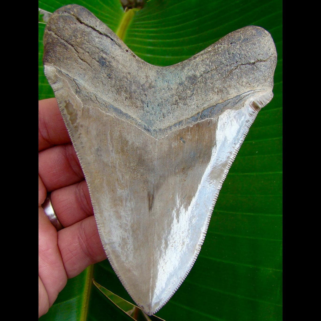 Megalodon Tooth OVER 4 & 13/16 in. -  Georgia Megalodon Shark Tooth