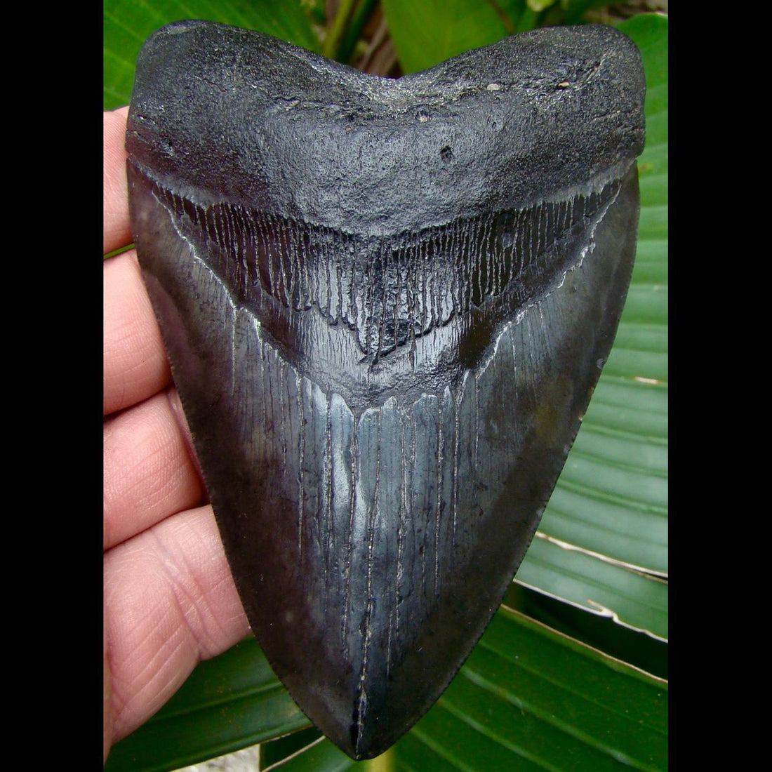 Megalodon Tooth OVER 4 & 3/4 in. South Carolina Megalodon Shark Tooth