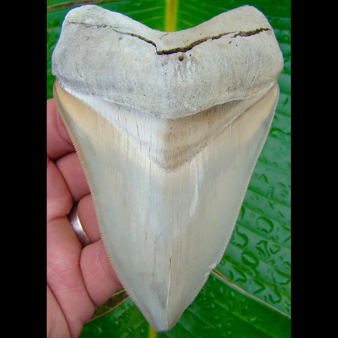 Megalodon Tooth OVER 4 & 3/8 in.  Lee Creek / Aurora Megalodon Shark Tooth