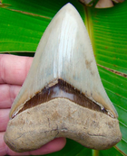 Megalodon Tooth OVER 4 & 3/8 in. - * Light Colored  *  Serrated South Carolina Megalodon Shark Tooth