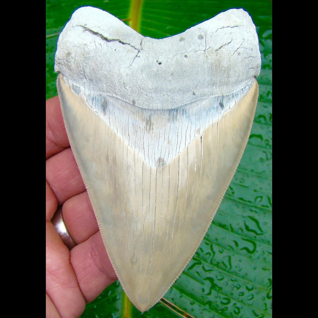 Megalodon Tooth OVER 4 & 7/16 in. * BEST of the BEST * Lee Creek / Aurora Megalodon Shark Tooth