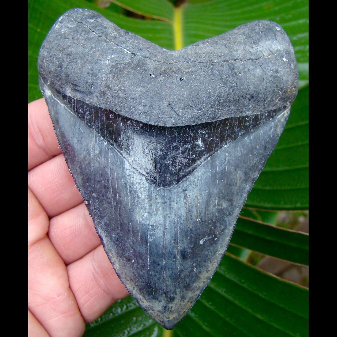 Megalodon Tooth OVER 4 & 7/16 in.  Venice Beach, Florida Megalodon Shark Tooth