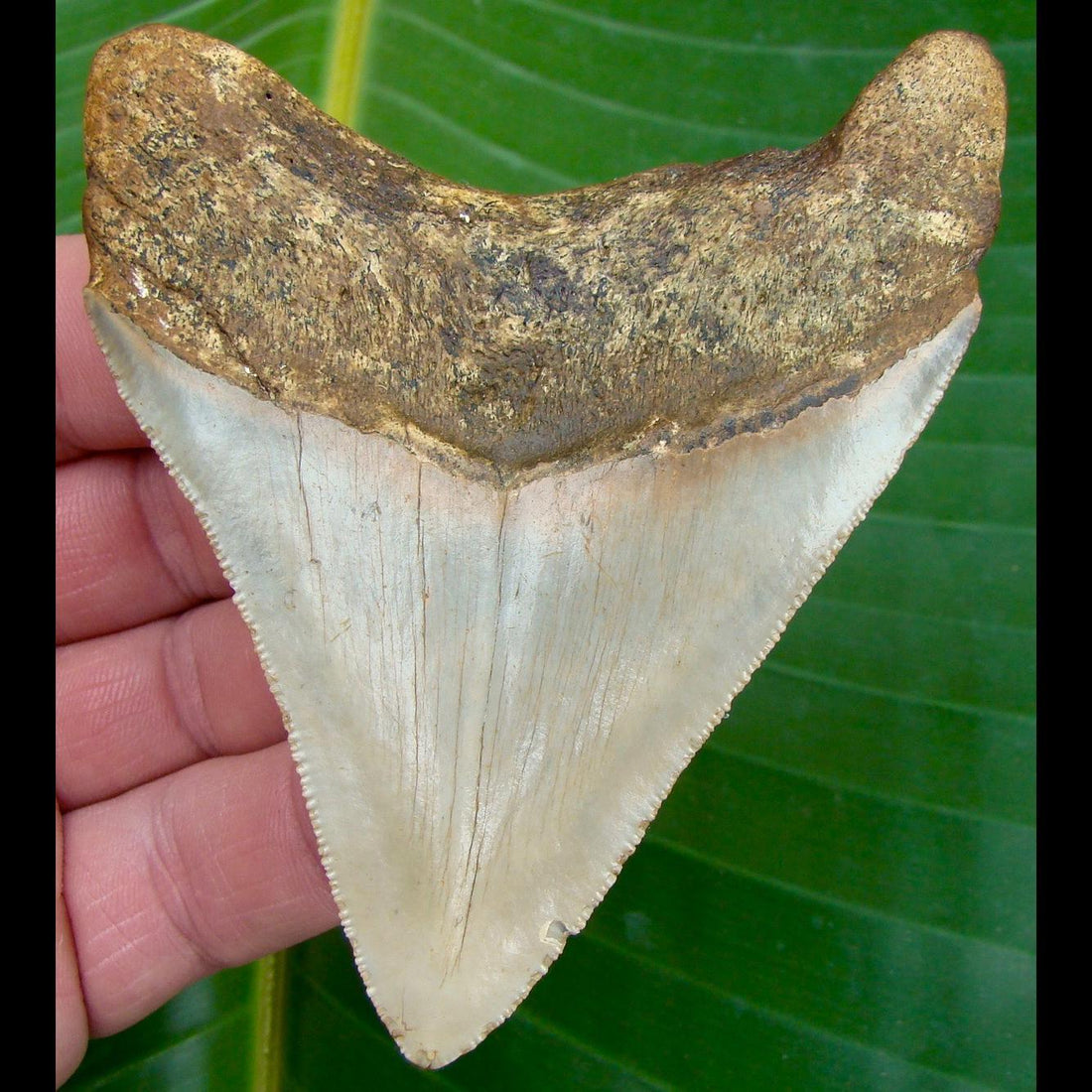 Megalodon Tooth OVER 4 in. * BARGAIN PRICED *   SERRATED North Carolina Megalodon Shark Tooth