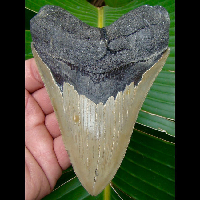Megalodon Tooth OVER 5 & 1/16 in. * SERRATED *  North Carolina Megalodon Shark Tooth