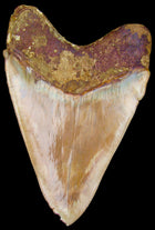 Megalodon Tooth OVER 5 & 1/2 inch  - Indonesian Megalodon Shark Tooth
