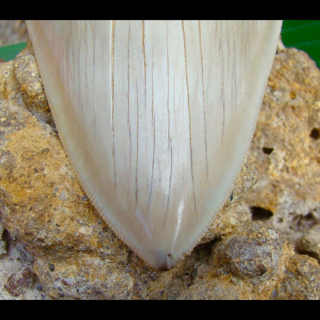 Megalodon Tooth OVER 5 & 7/8 in.   - Chilean Megalodon Shark Tooth in Matrix