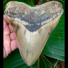 Megalodon Tooth OVER 5 & 7/8 in.   - Lee Creek / Aurora Megalodon Shark Tooth