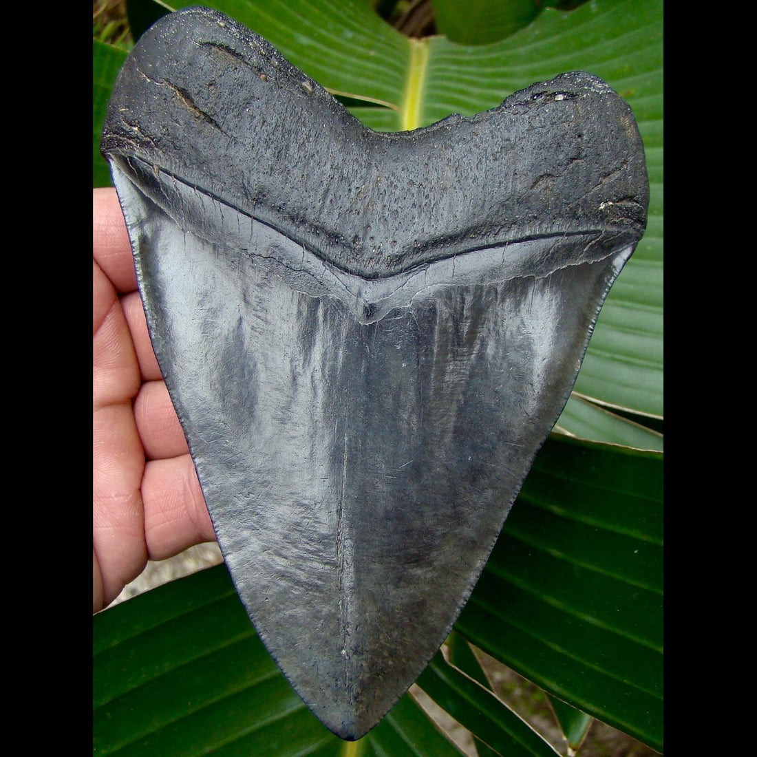 Megalodon Tooth OVER 5 & 9/16 in.  South Carolina Megalodon Shark Tooth