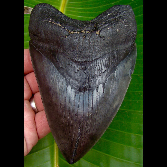 Megalodon Tooth OVER 5 & 9/6 in.  South Carolina Megalodon Shark Tooth