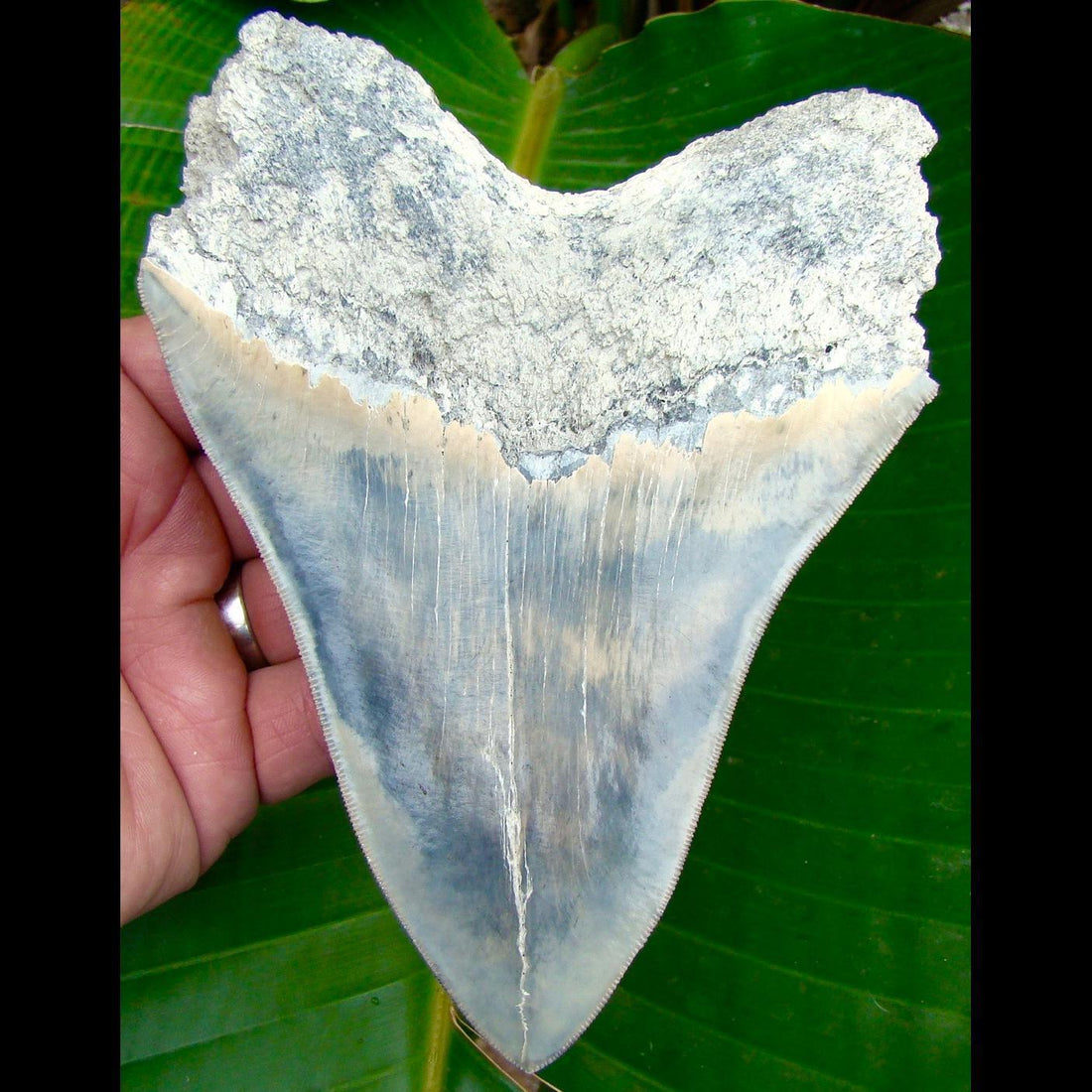 Megalodon Tooth OVER 6 & 1/16 in.   - Lee Creek / Aurora Megalodon Shark Tooth