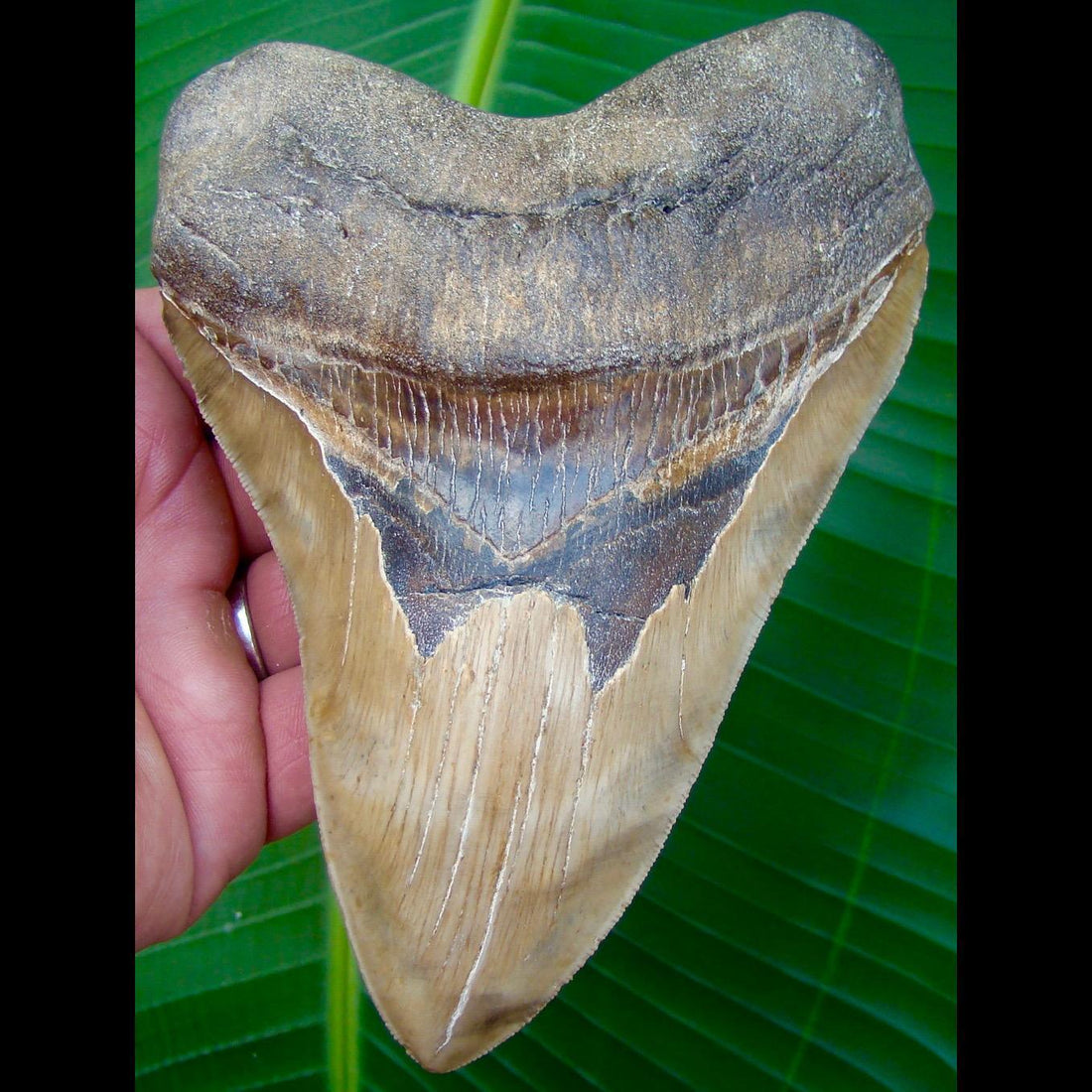 Megalodon Tooth OVER 6 in. * SERRATED *  North Carolina Megalodon Shark Tooth