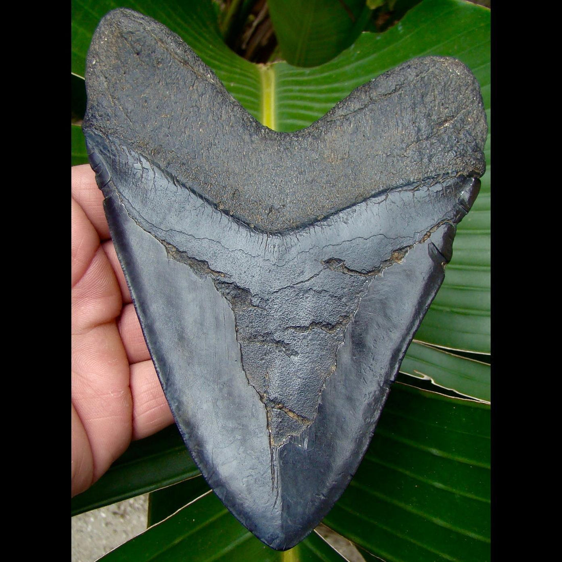 Megalodon Tooth OVERr 6 & 1/16 in. South Carolina Megalodon Shark Tooth