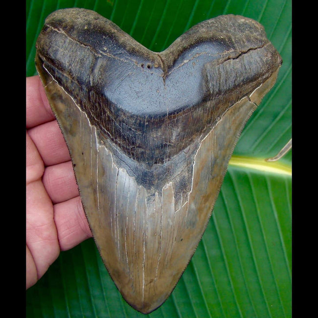 Megalodon Tooth ULTRA RARE 5 & 9/16 in. *VERY SPECIAL SPECIMEN * South Carolina Megalodon Shark Tooth