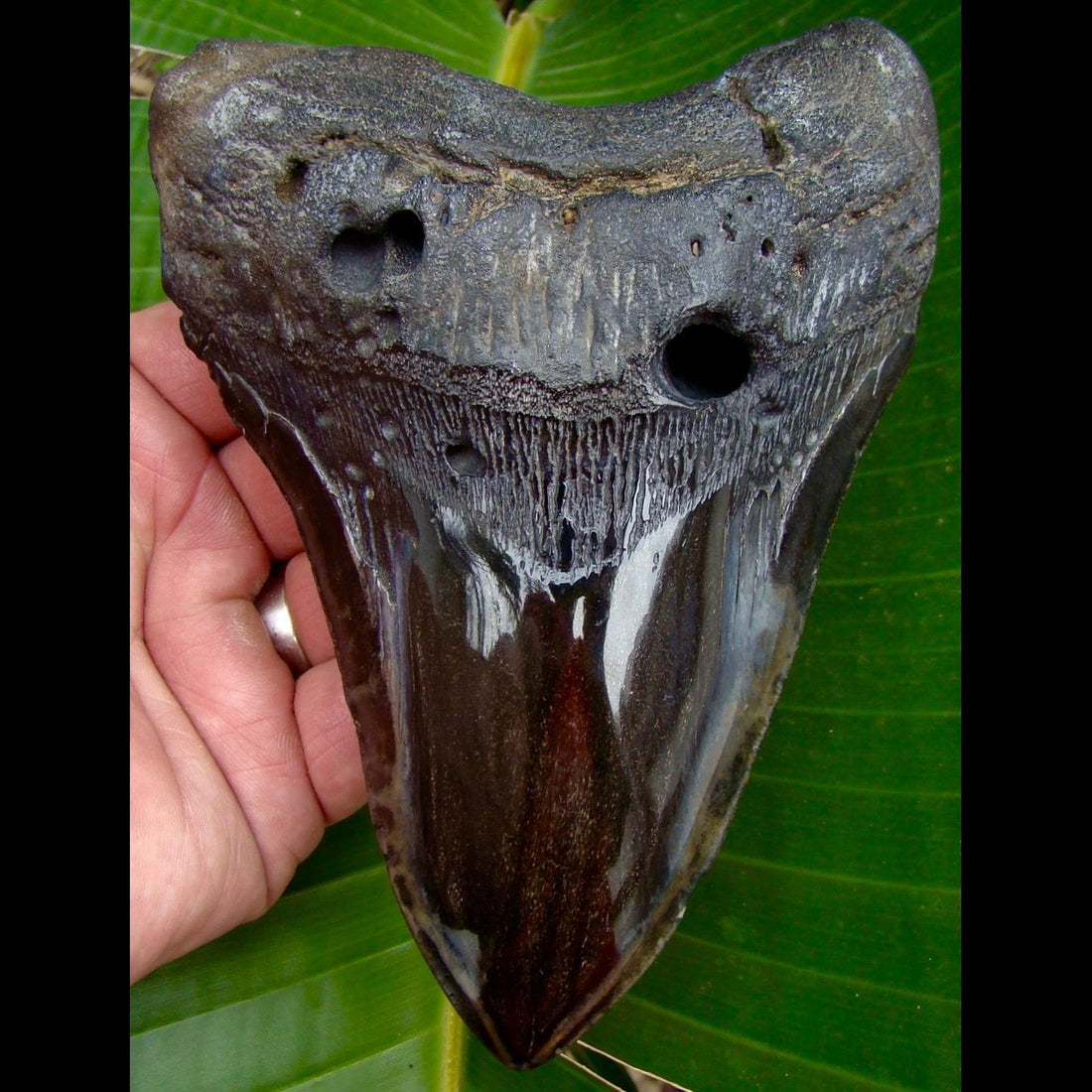 Megalodon Tooth XL 6 & 1/8 in. South Carolina Megalodon Shark Tooth