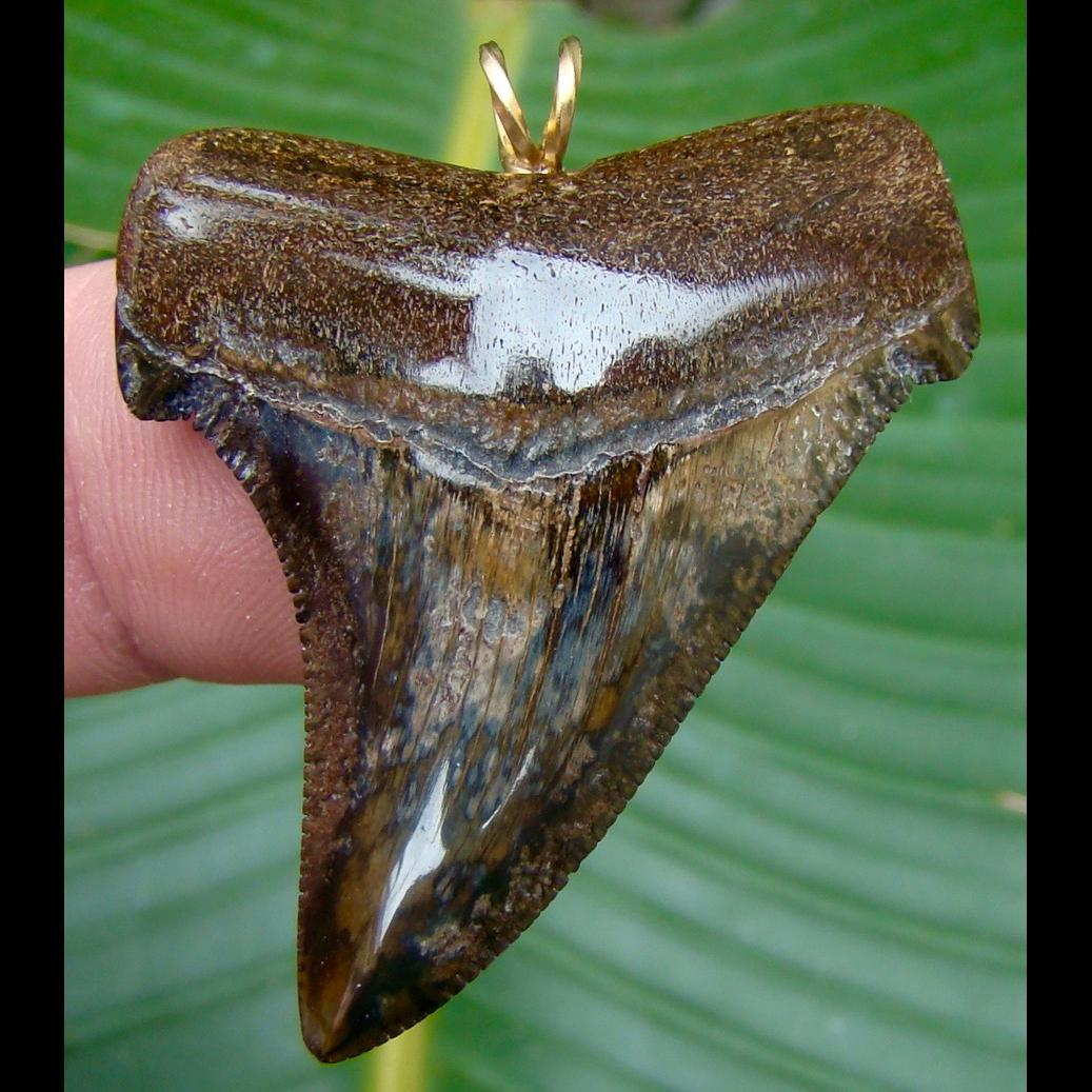 Pendants 1 & 7/8 in.COLORFUL Angustidens shark tooth pendant