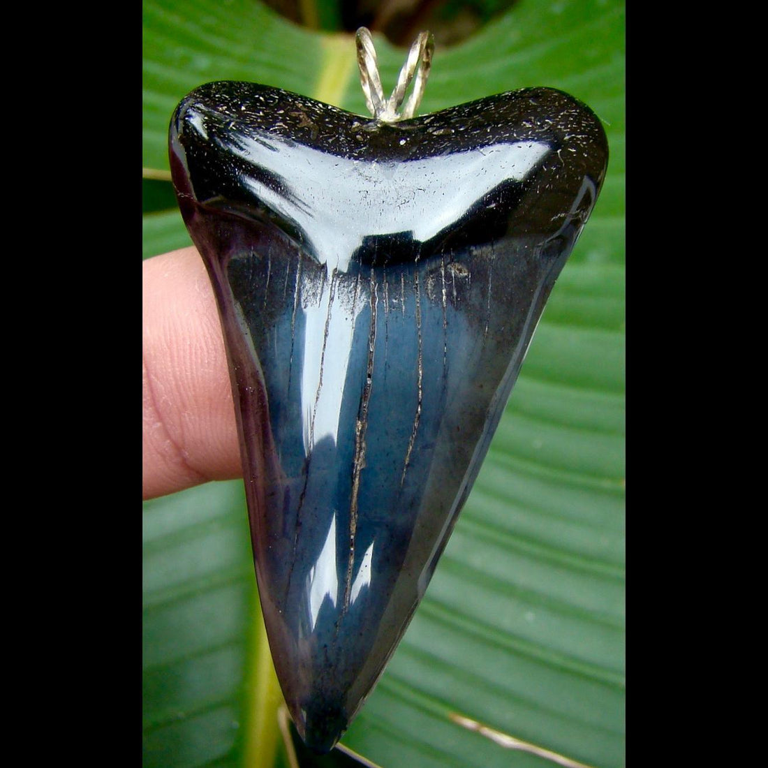 Pendants 2 & 3/16 in. Mako shark tooth pendant with STERLING SILVER Bale