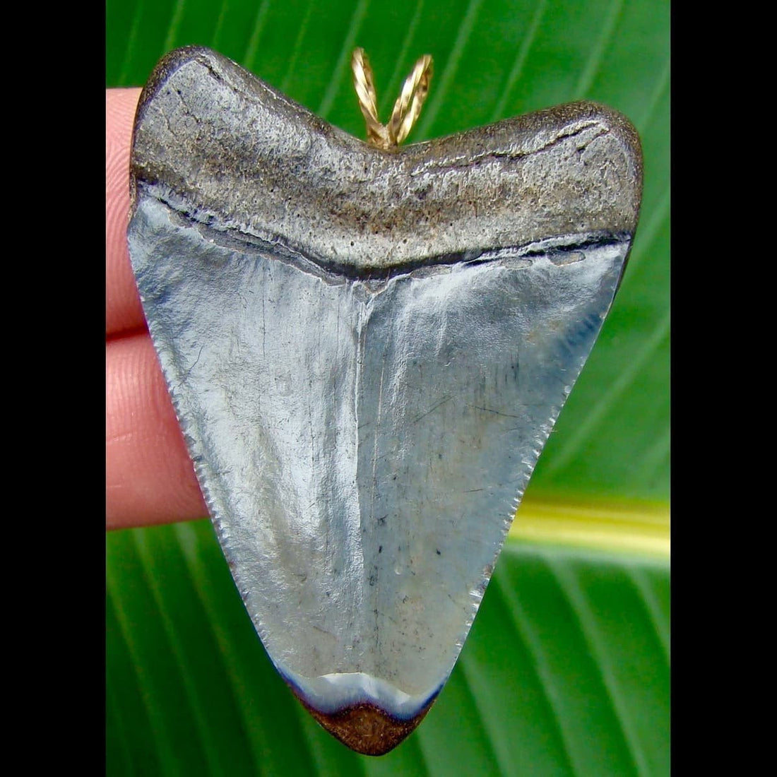 Pendants 2 & 3/16 in. * Venice Beach, Florida * Megalodon shark tooth pendant