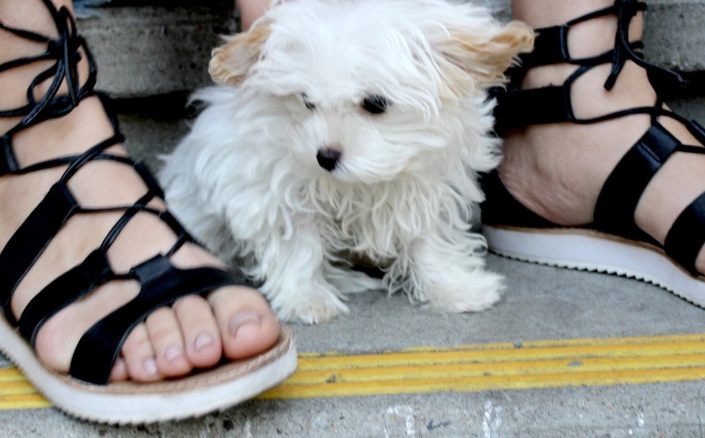 teacup dog | maltipoo | queen bee fashion blog
