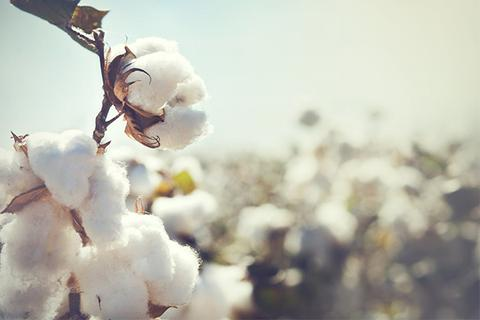 WHY SHOULD WE USE ORGANIC COTTON INSTEAD OF CONVENTIONAL COTTON?