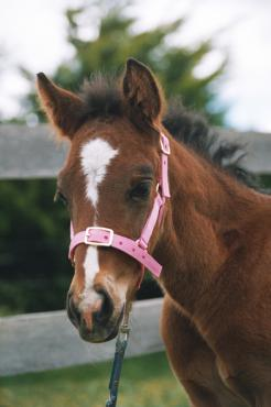 Foal Showcraft Nylon Headstall