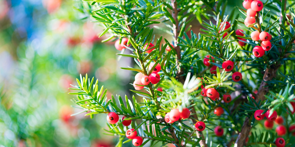 Japanese Yew plant toxic to dogs