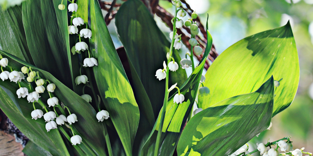poisonous plant lily of the valley