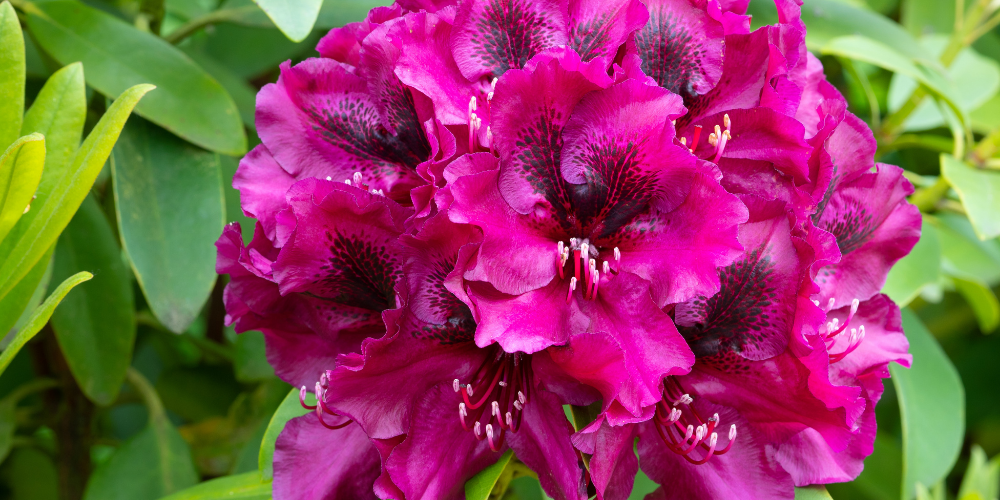 rhododendron poisonous