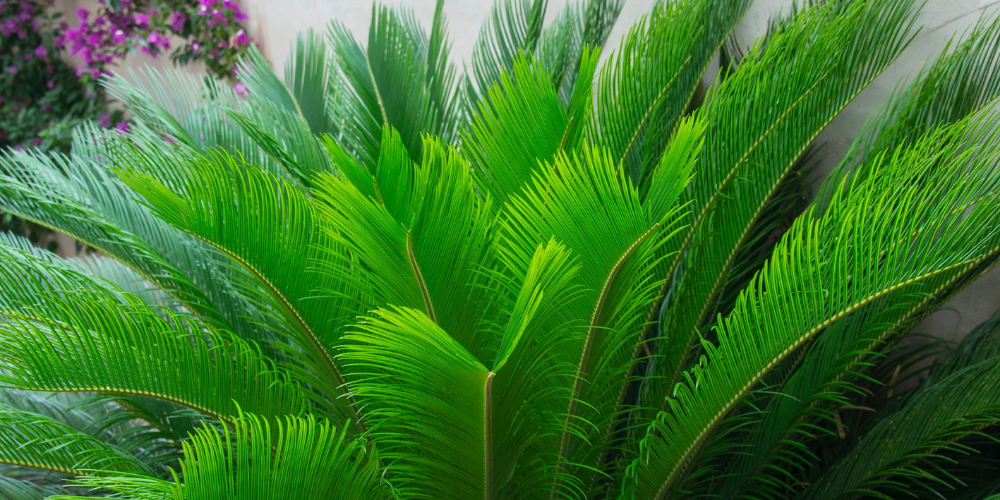 Sago Palm dangerous to dogs