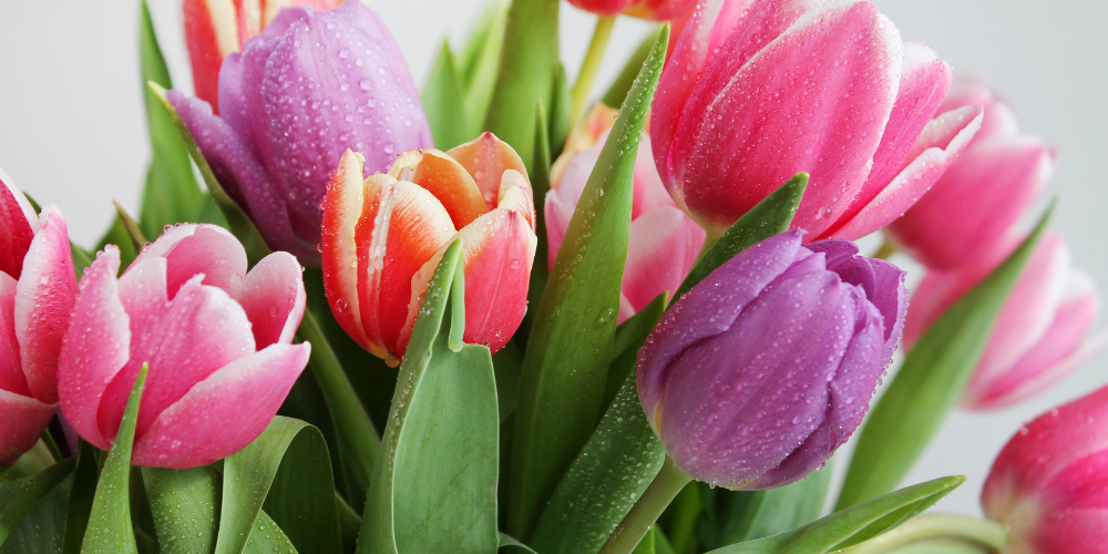 poisonous tulips to dogs
