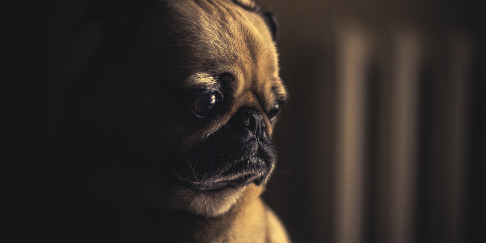 pug with separation anxiety