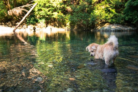 Dog Hiking in Water